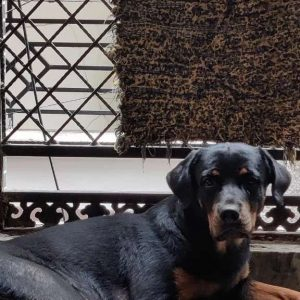 9 months old Female Rottweiler