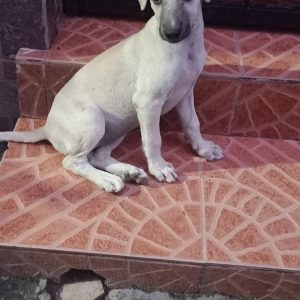 Indie puppy lajpat nagar