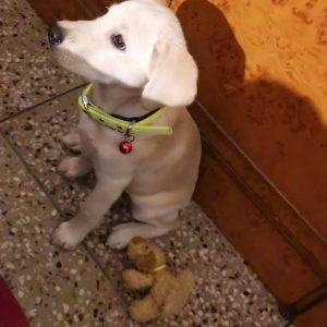 Labra puppy pitampura