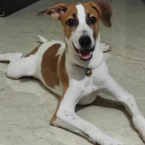 indie dog for adoption in mumbai