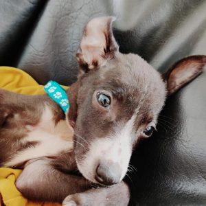 indie pup adoption sakinaka